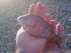 Black Bream, Lagoon Beach, July 09
