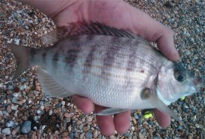 Shoreham Bream, 9.8.2009