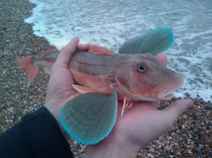 Gurnard, Banjo Groyne Beach, Oct 2009
